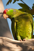 Red-Crowned_Parrot
