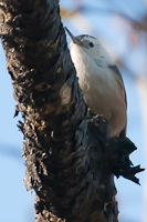 White-Brested Nuthatch