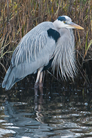 great_blue_heron_breeding