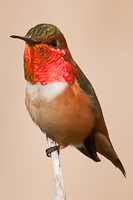 Hummingbird with red gorget