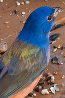 painted_bunting_l
