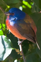 painted_bunting_r