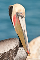 Brown Pelican in breeding colors