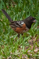 Spotted Towhee with seed in mouth